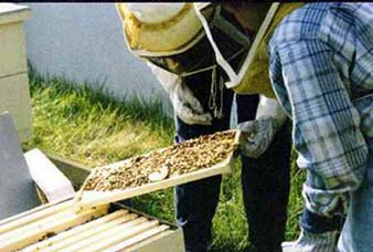 Lori_and_Rebecca_teach_the_bees_how_to_collect_honey.